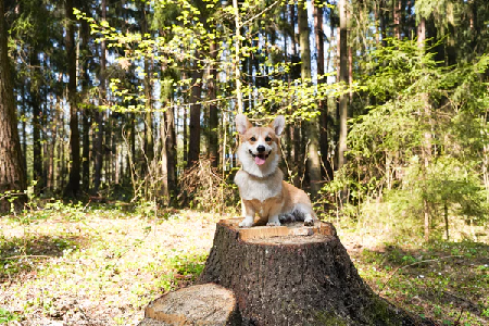 A dog sat on a tree stump in a forest
